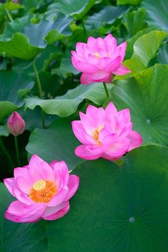 The pink lotus flower is perhaps one of the most celebrated flowers that there is .