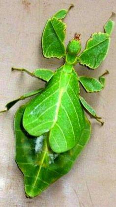 Insecto Hoja... Phyllium philippinicum, también llamado simplemente 'Insecto Hoja' o 'Insecto Hoja de Filipinas' es un fásmido (Phasmatodea, el orden de los insectos palo) que tiene el aspecto de una hoja. Es uno de entre muchas especies de insectos hoja, pero Phyllium philippinicum es uno de los más comunes que se tienen de mascota. Hay un insecto hoja más que presentamos en este sitio El Insecto Hoja Gigante, se encuentra en el bosque tropical de Filipinas.