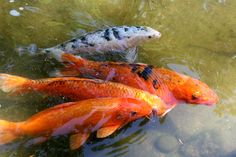 Viewing Gallery For - Real Koi Fish Side View