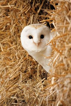 A Barn Owl ~ Actually in A Real Barn ~ in The English Countryside.