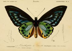 Birdwing Butterfly (Ornithoptera priamus urvilliana). Charles Dessalines d'Orbigny, Dictionnaire d'Histoire Naturelle Vol. 2 Atlas (1849)