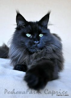 Maine Coon cats. Check out those tufted ears! ...........click here to find out more http://googydog.com