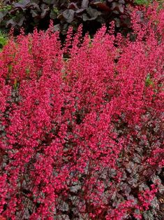 Make a statement in your garden with the dazzling foliage color, texture and shapes Heuchera perennials provide. Shop for your plants from Bluestone Perennials. Coral Bells Heuchera, Bell Gardens, Hummingbird Plants, Asian Garden, Border Plants, Blooming Rose, Garden Fountains, Foliage Plants, Flowers Perennials