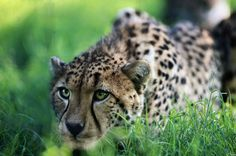 Cheetah hunting. Magnificent...