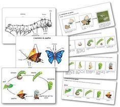 Elevage de papillons en maternelle : la séquence Butterfly farming in kindergarten: the sequence Montessori Science, Alternative Education, Study Board, Montessori Materials, Raw Gemstones, Life Cycles, Science And Nature, Activities For Kids, Kindergarten