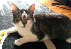 River * Cat • Tabby - Brown & American Shorthair Mix • Adult • Female • Small  Brooklyn Bridge Animal Welfare Coalition Brooklyn, NY