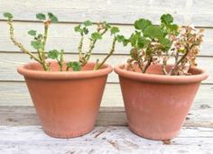 pelargonia kaffegrutprosjektet Planter Pots