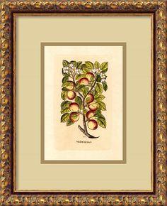 Apple (Malum Reginale) Framed Painting Print