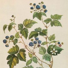 wild raspberry flower botanical print black and white - Google Search