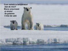 PPT - C ă l ă torie în zonele polare PROFESOR ÎNVĂŢĂMÂNT PRIMAR ŞI PREŞCOLAR TRIF MARIANA GABRIELA PowerPoint Presentation - ID:4755806 Polar Bear Video, Mariana