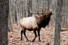 North American Elk: In 2011, the Missouri Department of Conservation began restoring elk to a large area of public lands in Carter, Shannon and Reynolds counties. Before the coming of Europeans, elk probably ranged over the entire region of what is now Missouri. | Missouri Department of Conservation