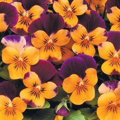 Hybrid Viola 'Orange Jump-Up' cheerful spring multi-blooming fragrant pots £2.60