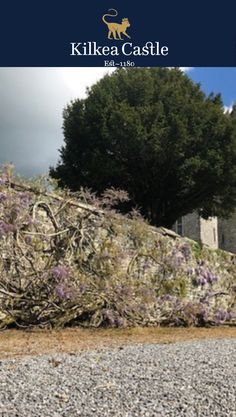 This is the famous Wisteria at Kilkea Castle in full bloom. It is very old and there are quite a few stories surrounding it's origin. One story is it was presented as a tiny plant to the Fitzgerald Family by Charles Steward Parnell to commentate the contribution of Lord Edward Fitzgerald during the 1798 Rebellion.  The Wisteria is over 40 meters in length with magnificent blossoms and amazing scent.