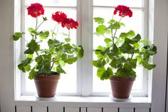 GERANIUMS IN WINDOW