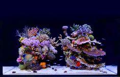 Reef Aquarium, Saltwater Aquarium, Reef Aquascaping, Tanked Aquariums, Coral Blue, Salt And Water, Sea Creatures, Terrarium, Natural Beauty