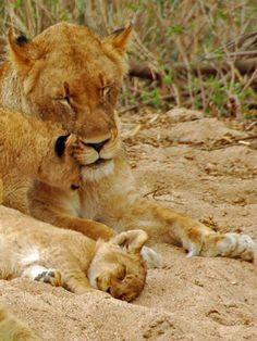 Lioness With Cubs, Sabi Sand Game Reserve