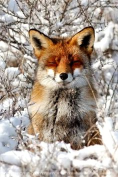 #Winter #photography #snow #fox ToniK Joyeux Noël