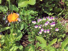 Ringelblume und Hornveilchen im Gartenbeet