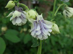 Aquilegia vulgaris 'Tower light Blue'