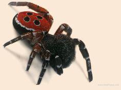 Ladybird spider (Eresus)