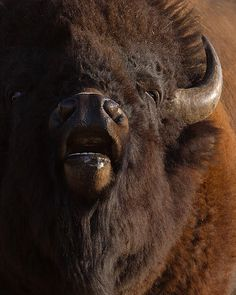 Bison, Yellowstone National Park, Wyoming; photo by Doug Dance