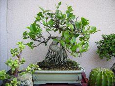 Ficus, Plantas Bonsai, Go Green, Plants, Bonsai Trees, Container Plants, Green Plants, Fig, Flora