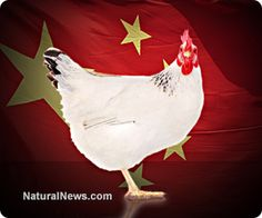 USDA to allow U.S. to be overrun with contaminated chicken from China  Learn more: http://www.naturalnews.com/042894_USDA_China_imports_chicken.html#ixzz2kZYEy4wh
