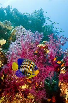 Regal Angelfish, so wish I was swimming here!!