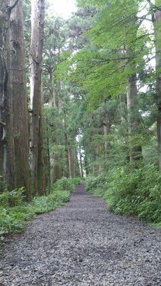 Cedar avenue of Hakone