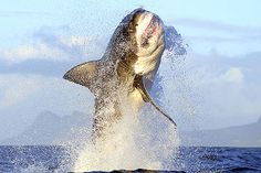 To see the great whites in False Bay, South Africa....so incredible!