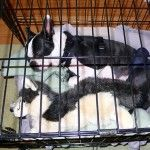 Crate Training Your Boston Terrier - Boston Terrier Secrets