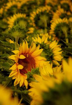 Sunflower, yellow, photography,
