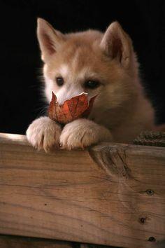 Zuri, Siberian husky puppy,...OMG! how cute is that?