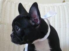 Charlotte, the French Bulldog Puppy