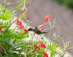cardinal vine - Google Search