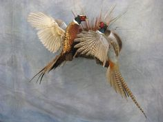 Showpiece Taxidermy: South Dakota Pheasant Mounts