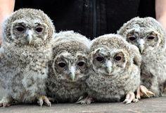 Baby Owls!