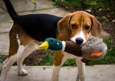 """Beagle with ducky :).  This is my dog all of the way! We even say """"go get ducky!!!"""""""