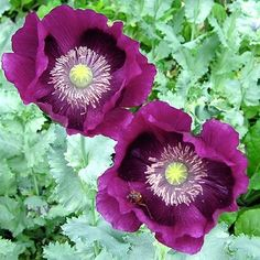 Poppy 'Laurens Grape'. Photo Courtesy of Select Seeds.  Top seeds for 2013 in Gardening Gone Wild Blog