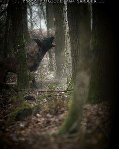 Arrack's Home B-Takoda... #arrackshome #arrackshomekennel #brigittevansambeek #brigittevansambeekphotography #actionphoto #actionphotos #actionphotography #knpv #knpvnl #knpvdog #knpvlovers #dog #dogs #doglover #dogphoto #dogsofig #dogstagram #dogsofinstagram