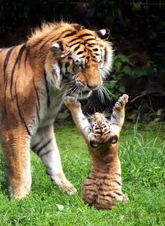 Tiger cub playing with mother - photo - Tiere Natur - Animals Wild