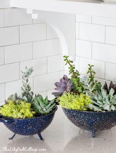 Colander succulents