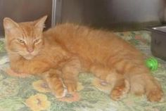Allie -  URGENT is an adoptable Domestic Medium Hair Cat in Knoxville, TN. Folks, this is Allie. She is a very loving and affectionate girl.  Poor Allie is in a local kill shelter so it is very i...