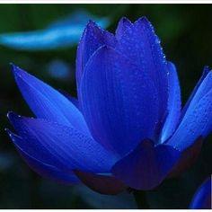 Si vous disposez d'un bassin ou plan d'eau, agrémentez-le de jolis Lotus pour le…