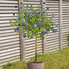 Szczepiony prusznik niebieski - 1 drzewo