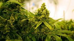 Ohio is taking applications from would-be medical marijuana cultivators for state business licenses,...