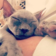 There is exactly one hairless cat that I think is cute, and his name is Wyatt Blue Grassi-Hoying