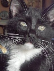 BRONX - URGENT is an adoptable Tuxedo Cat in Macon, GA.  Owner needs to place very soon or kitties will be taken by Animal Control due to a neighbor complaint. Bronx has trust issue with males but on...