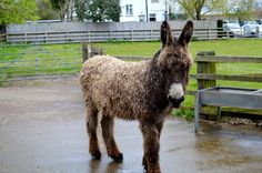 This image is published by The Donkey Sanctuary, under the terms of a Creative Commons Licence. www.thedonkeysanctuary.org.uk