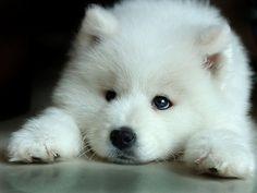 White Swiss Shepherd Pedigree Pup
